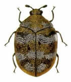 Adult Carpet Beetle