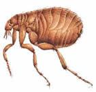 Common Aussie Flea